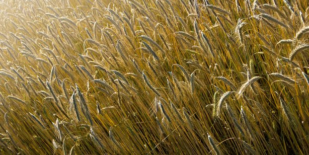 Photo of barley in the field