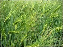 Photo of green barley in the field