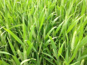 wheat heading photo