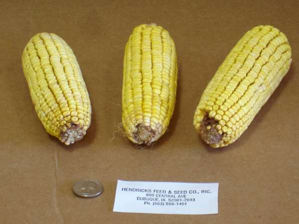3 ears of corn next to a quarter and a Hendricks Feed label for size.