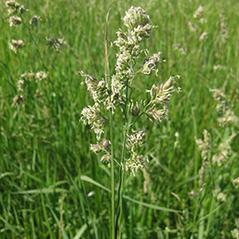 dactylis_glomerata_orchard_grass1