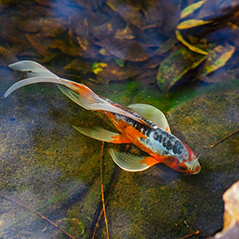 Photo of orange fish with yellow fins and black stripe down its back swimming in the water.