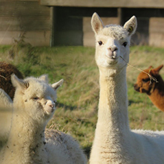 Photo of two white llamas. One has a piece of straw in its mouth and is looking at the camera. The other is looking away.