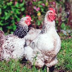 Photo of two chickens which are white and brown.