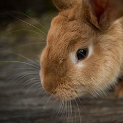 Photo of a closeup of a brown rabbit's face.