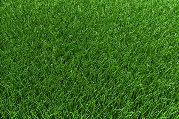 Creeping Red Fescue