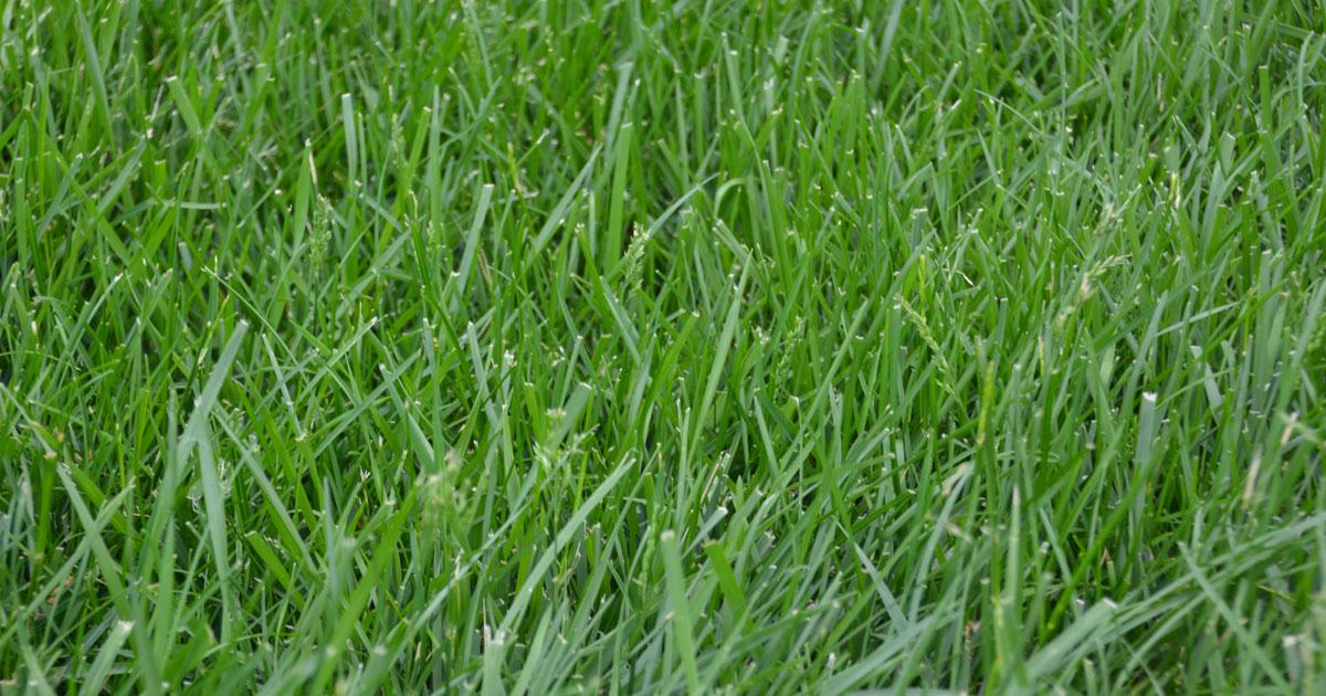 Kentucky-31-grass