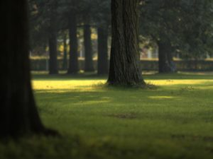 photo of a park with grass and focused on one tree in particular.